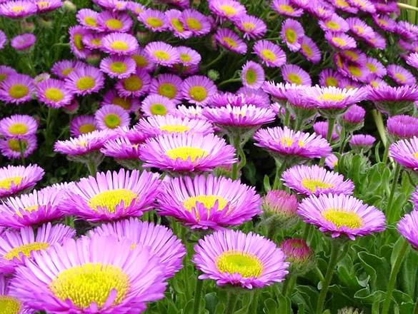 Hermoso campo de flores moradas