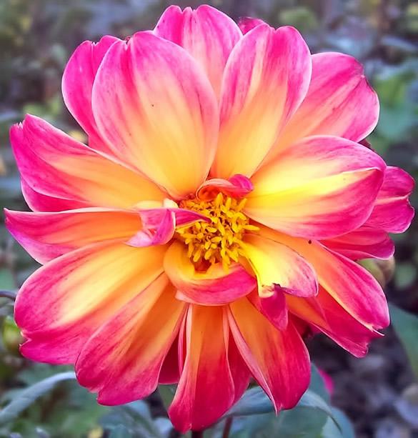 Preciosa flor de color amarillo y rosa