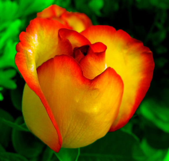 Rosa de color amarillo con naranja