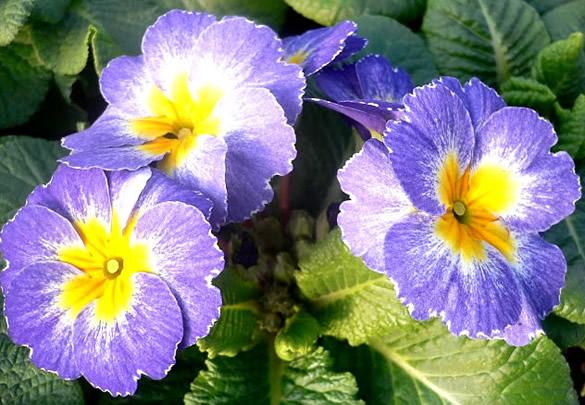Pequeñas violetas