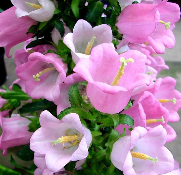 Flores en forma de campana