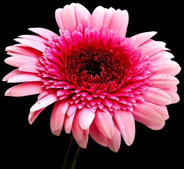 Hermosa gerbera rosa