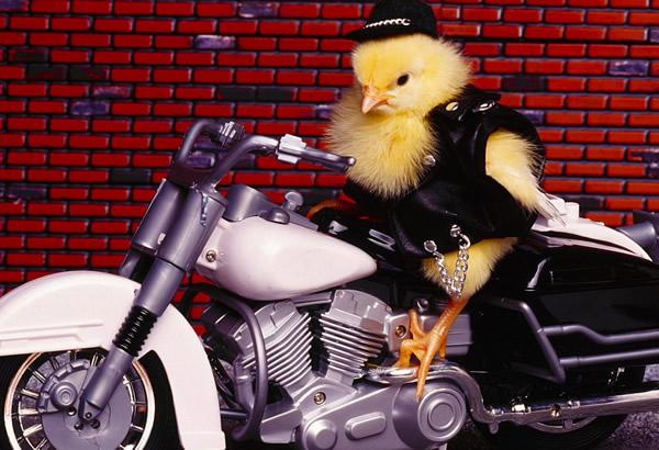 Pollo vestido con traje negro de...