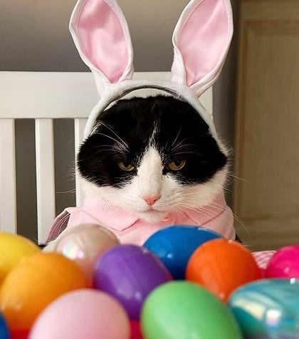 Gato enojado con orejas de conejo...