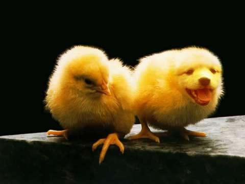 Pareja de pollos amarillos uno de ellos...