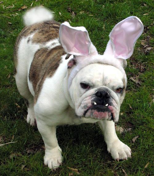 Bulldog parado sobre el pasto con orejas de conejo de pascua