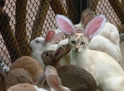 Gato blanco con orejas de conejo dentro de una jaula llena de conejos