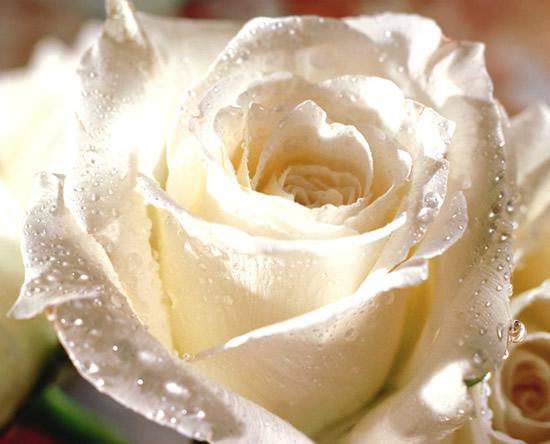 Rosa blanca con rocío de la mañana