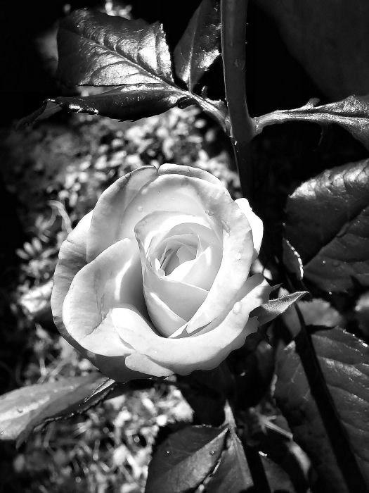 Foto en blanco y negro de una rosa