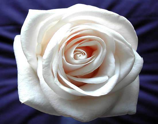 Rosas imagen 2