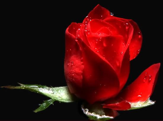 Botón de rosa roja con rocío de la mañana