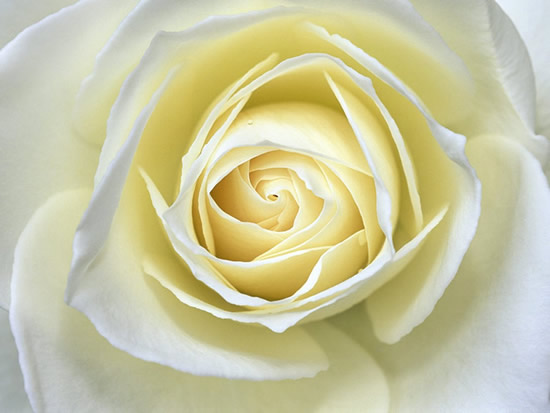 Hermosa rosa blanca