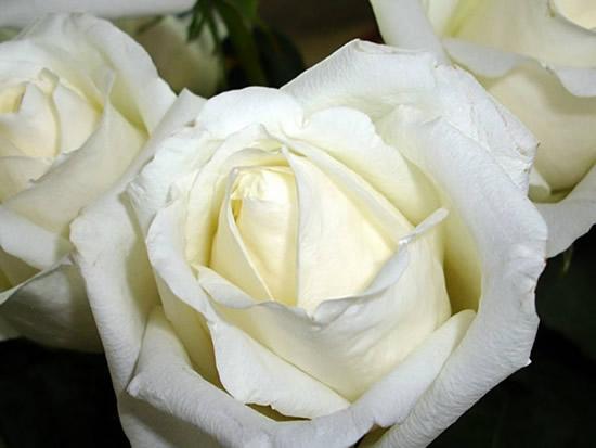 Hermosas rosas blancas