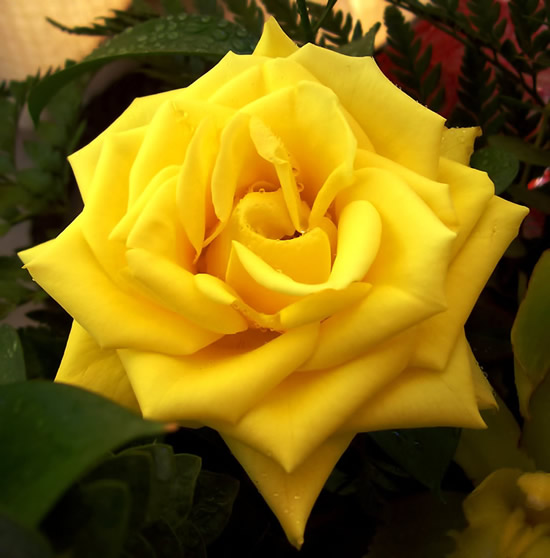 Bonita rosa amarilla