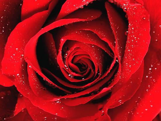 Hermosa postal de rosa roja