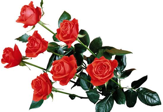 Dibujo de rosas rojas