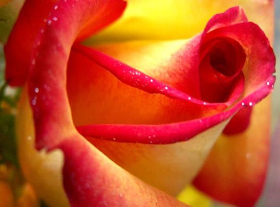 Hermosa rosa amarilla con rojo