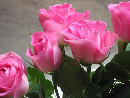 Bonita postal de rosas abriendo