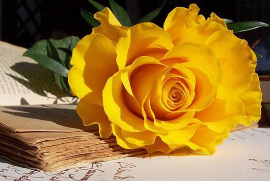 Hermosa postal de rosa amarilla