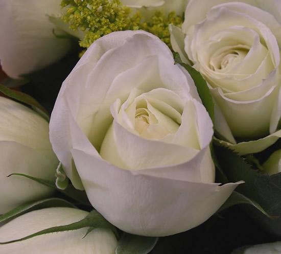 Botones de rosas blancas