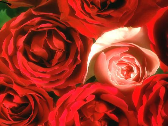 Bonita postal de rosas rojas