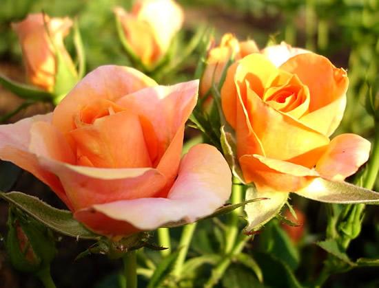 Bonita foto de rosas en el campo