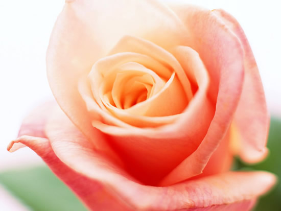 Hermosa foto de rosa color durazno