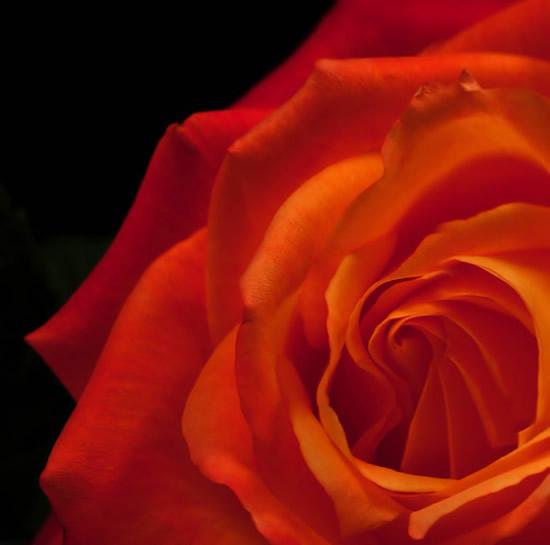 Hermosa postal de rosa anaranjada