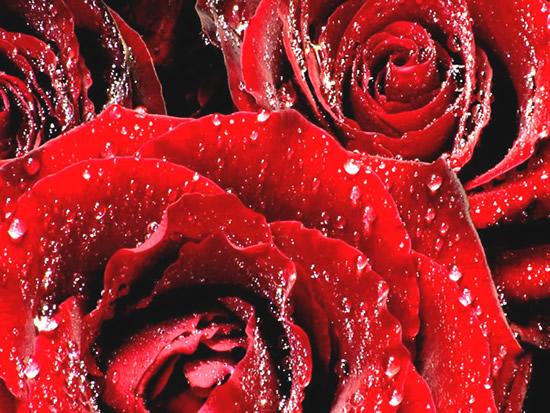 Rosas rojas con rocío