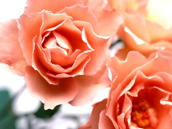 Postal de rosas color salmón