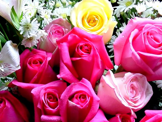 Rosa amarilla entre rosadas