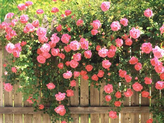 Rosas en el jardín