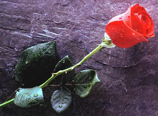 Dibujo de botón de rosa roja