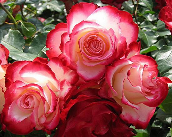 Hermosas rosas bicolor