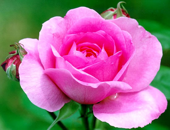 Bonita foto de rosa en el jardín