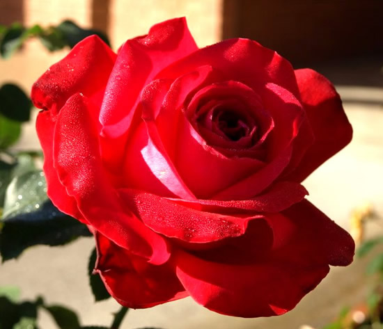 Bonita rosa roja