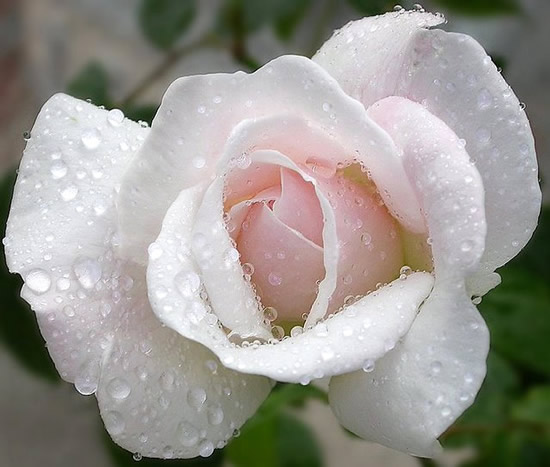 Hermosa rosa blanca con rocío