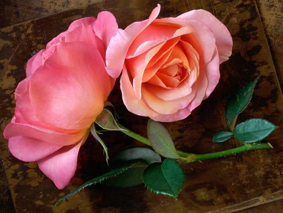 Par de rosas pálidas