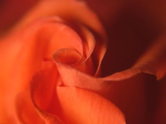 Foto del centro de la rosa