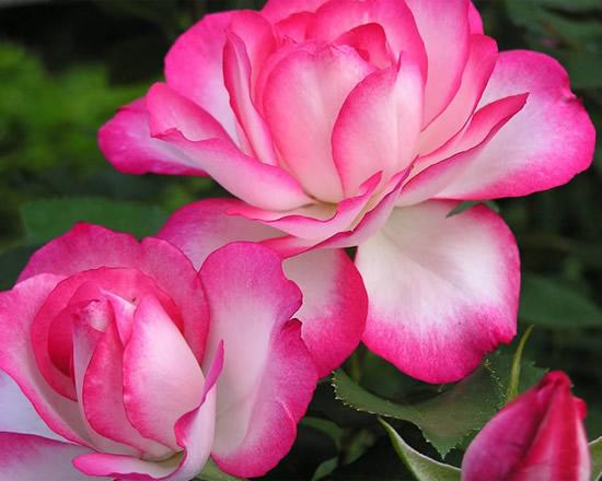 Hermosas rosas en dos colores