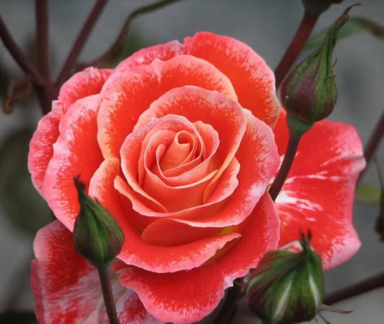 Hermosa pintura de rosa color durazno